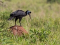 Abyssinian Ground Hornbill Catching Snake in Kidepo