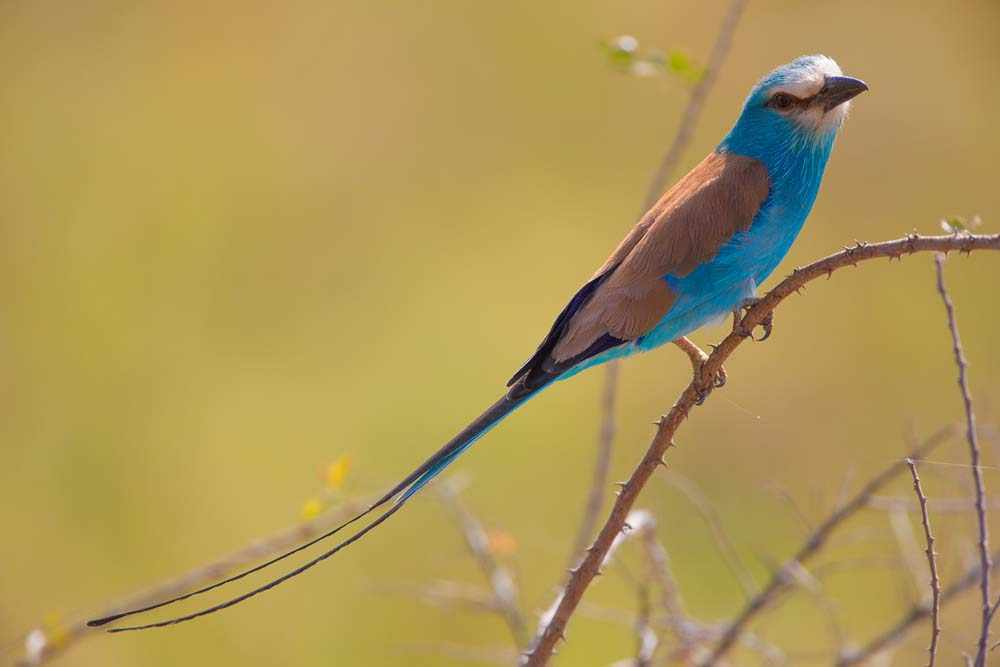 Abyssinian Roller in Kidepo