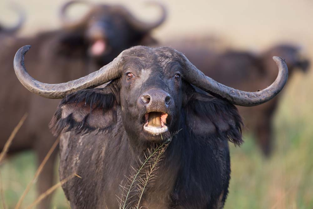 Buffalo in Kidepo