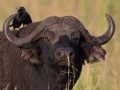 Bird eats insects from buffalo