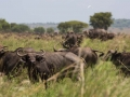 Buffalo enjoying the fresh, green grassland of Kidepo