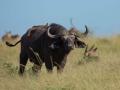 Buffalo in Kidepo