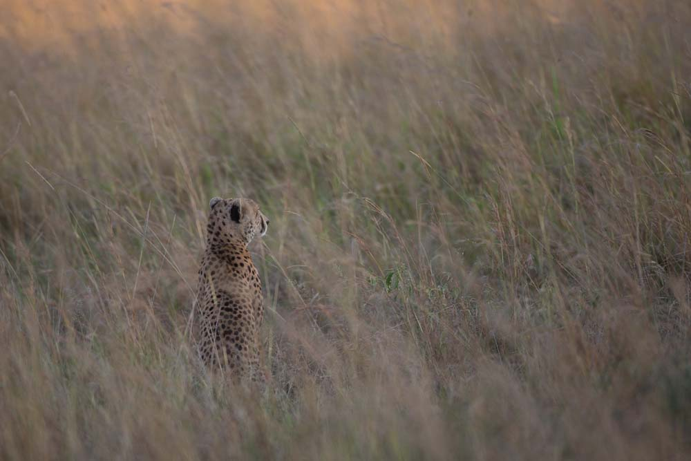 Cheetah_in_Kidepo_(13)