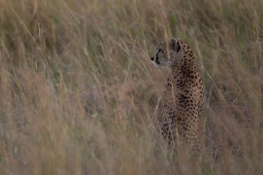 Cheetah_in_Kidepo_(14)