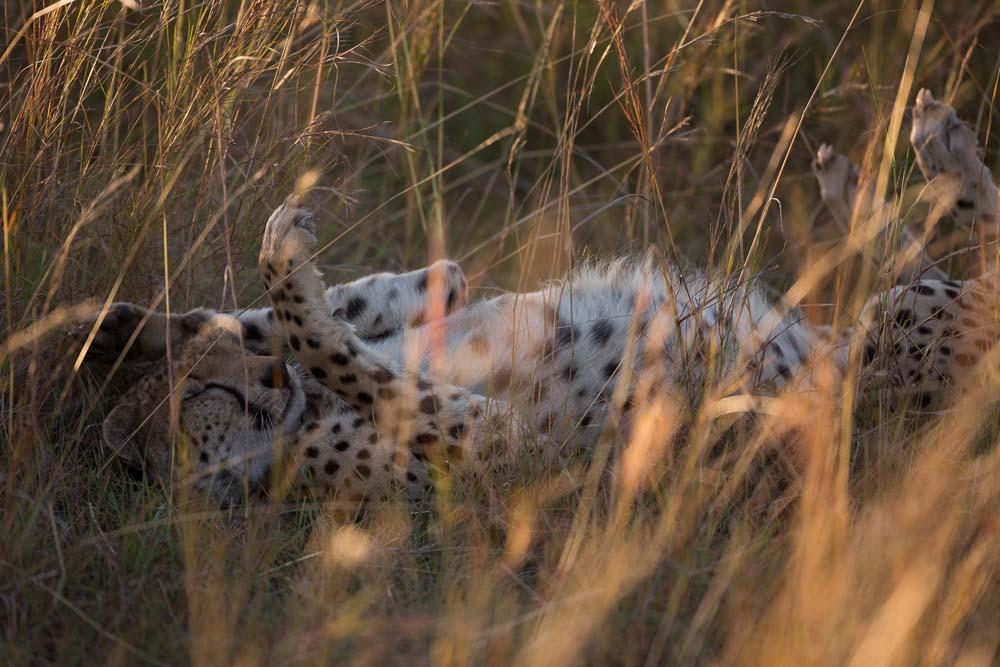 Cheetah_in_Kidepo_(21)