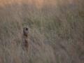 Cheetah_in_Kidepo_(13)