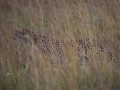 Cheetah_in_Kidepo_(15)