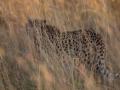 Cheetah_in_Kidepo_(17)