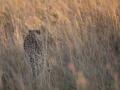 Cheetah_in_Kidepo_(18)