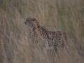 Cheetah_in_Kidepo_(9)
