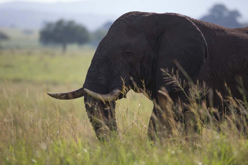 Elephant in Kidepo