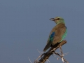 European Roller in Kidepo