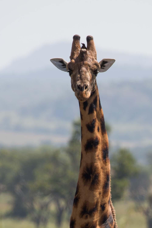 Giraffe in Kidepo