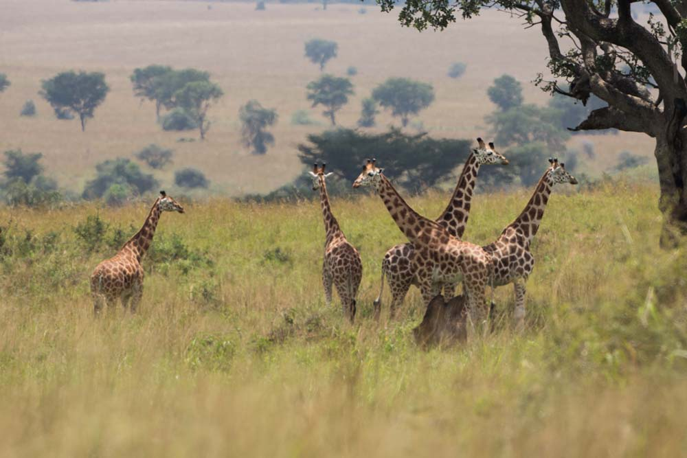 a group of giraffes in Kidepo