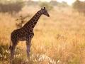 Giraffe in Kidepo in dry season