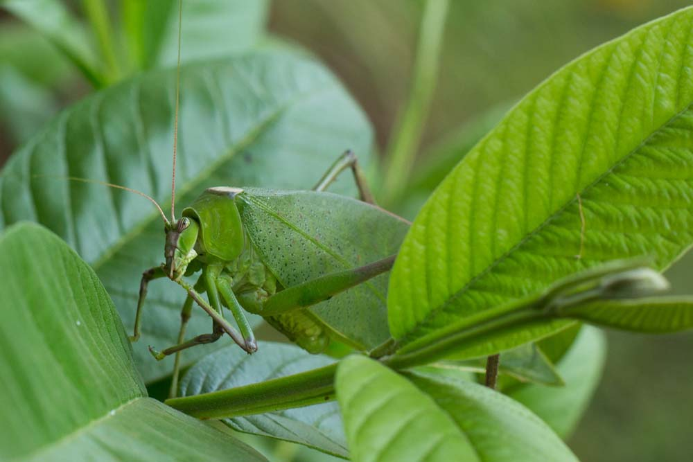 Leaf insect in Kidepo