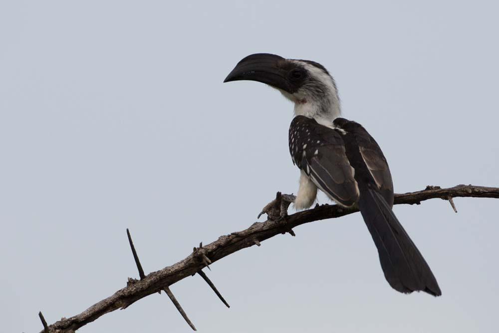 Jackson hornbill in Kidepo