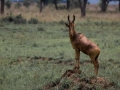 Jackson Hartebeest on the lookout