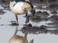 Knob Billed Duck in Kidepo
