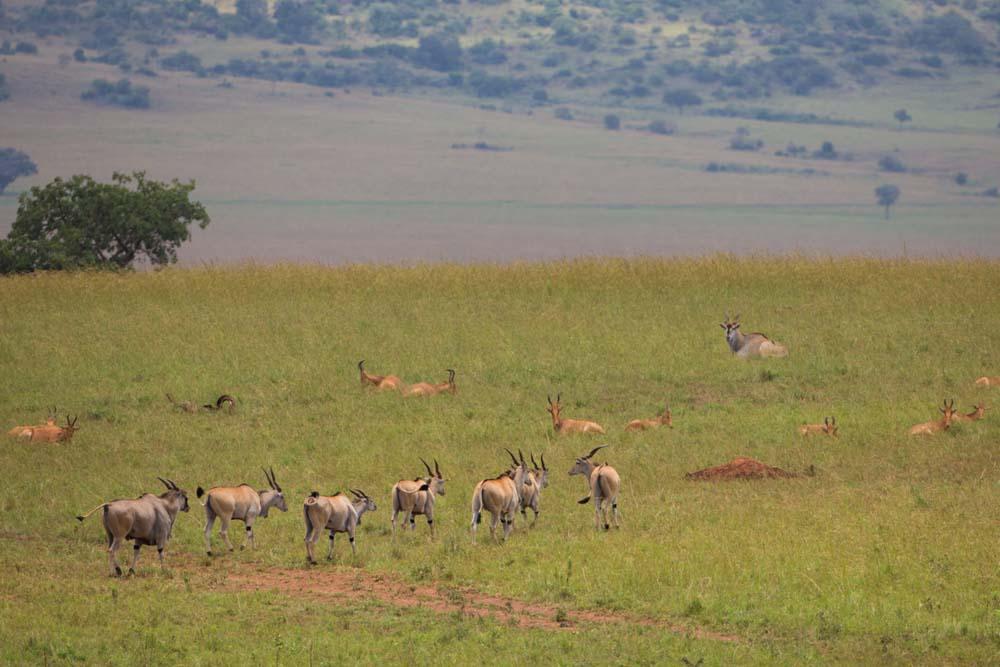 Eland in Kidepo
