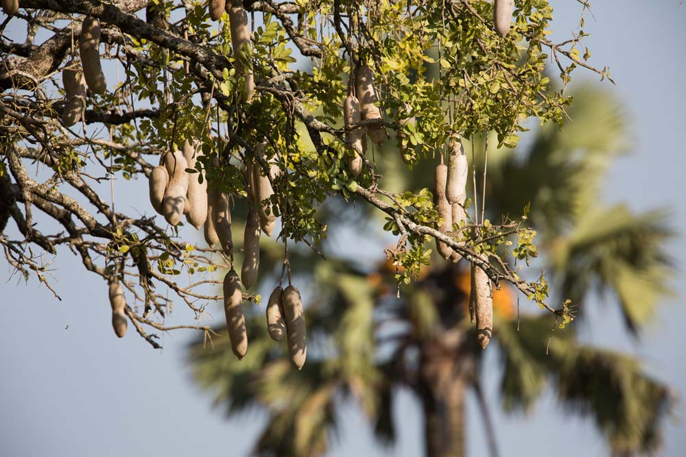 Sausage tree in Kidepo