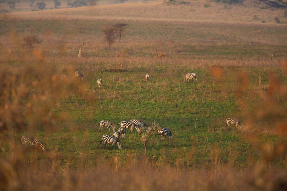 Zebra's in the plains of Kidepo