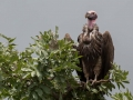 Lappet Faced Vulture in Kidepo