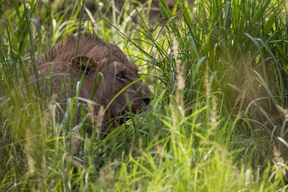 Lion hiding in the bush