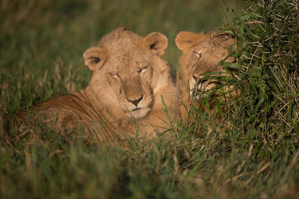 Two peaceful Lions in Kidepo
