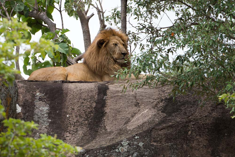 Lion on a rock in Kidepo