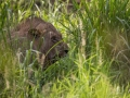 Lion hiding in the bush