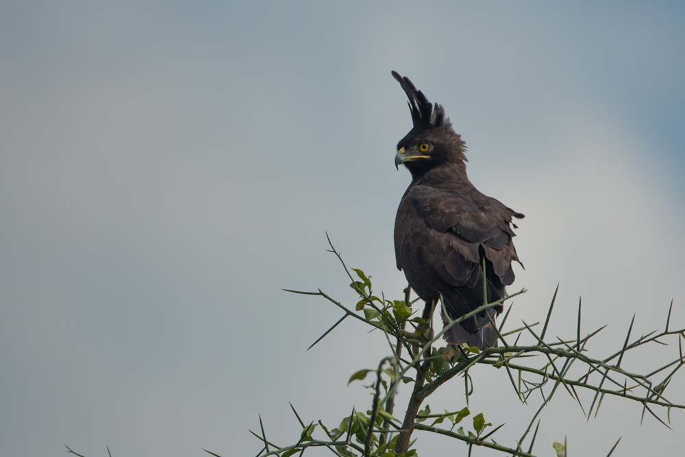 Long Crested Eagle in Kidepo