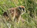 Pattas Monkey in Kidepo