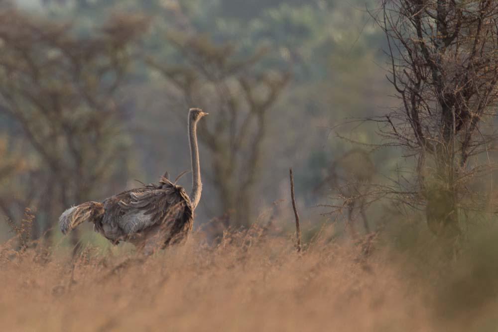 Ostrich in Kidepo