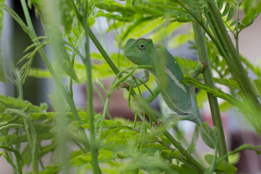 Chameleon in Kidepo