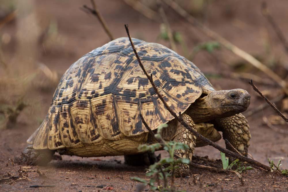 Leopard Turtle in Kidepo