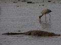 Crocodile in Kidepo