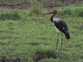 Saddle_Billed_Stork_in_Kidepo