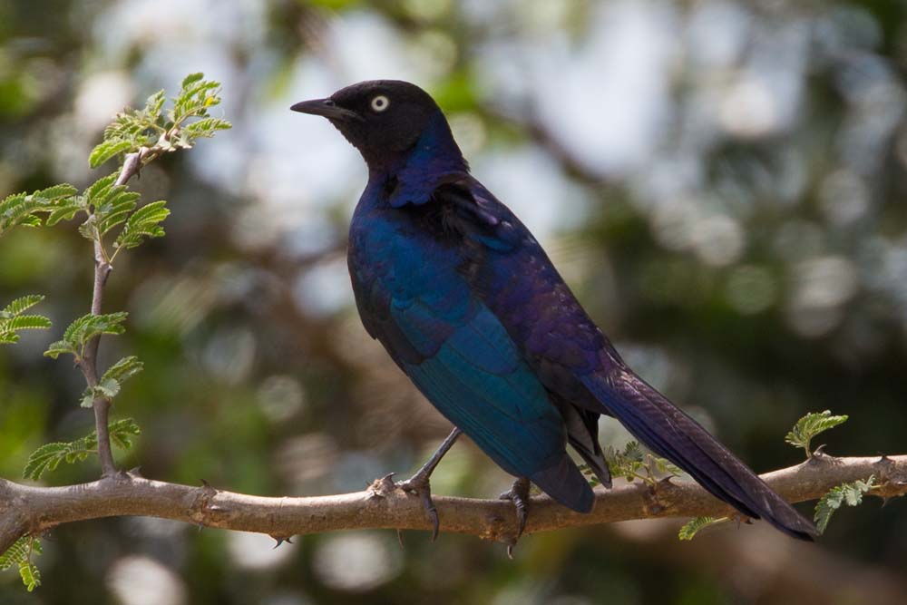 Starling_in_Kidepo