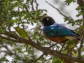 Superb_Starling_in_Kidepo