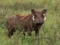 Warthog in Kidepo