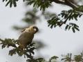 Weaver_Bird_in_Kidepo
