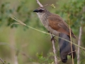 White_Browed_Coucal_in_Kidepo