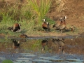 White_Faced_Whisteling_Ducks_in_Kidepo