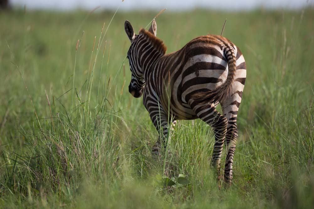 Zebra in Kidepo from behind