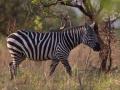 Zebra in Kidepo