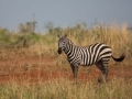 Zebra in Kidepo