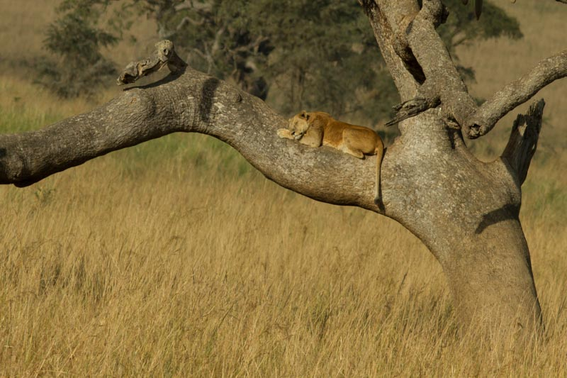 Lion sleeping in a tree