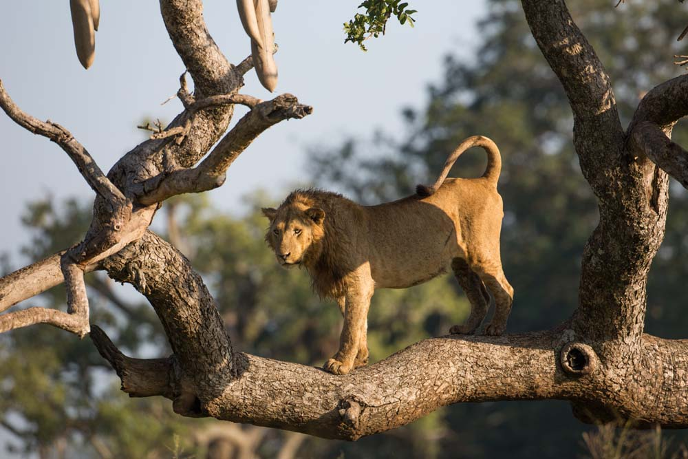 Tree Climbing Lion in Kidepo