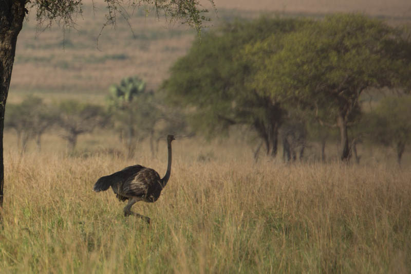 Ostriches in Narus Valley